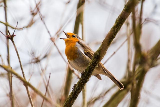 sing bird photo